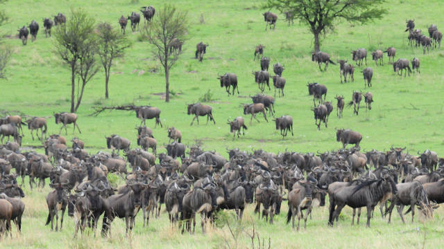 Best time for Wildebeest Calving in Serengeti in Tanzania