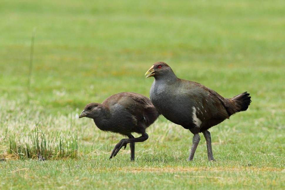Tasmanian Native-Hen