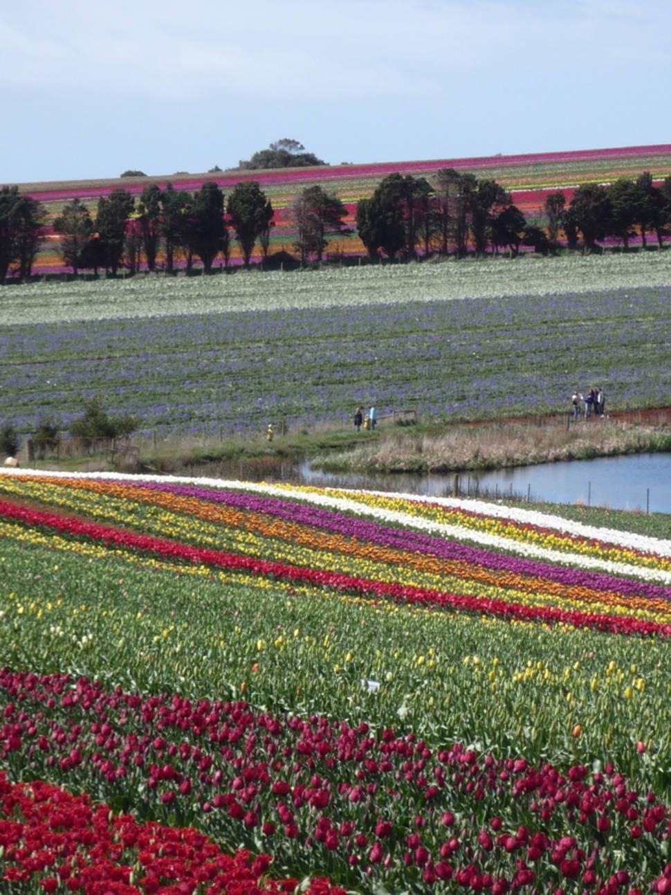 Best time to see Blooming Tulips in Tasmania