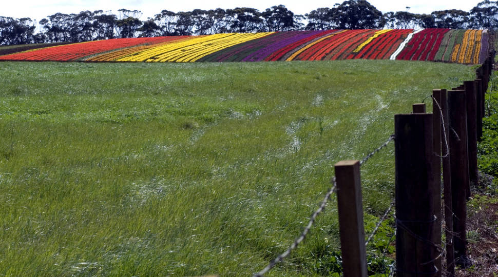 Best time for Blooming Tulips in Tasmania