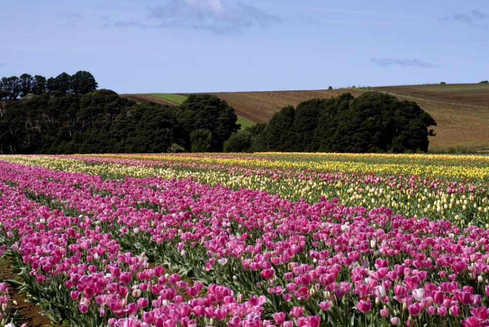 Blooming Tulips in Tasmania - Best Season