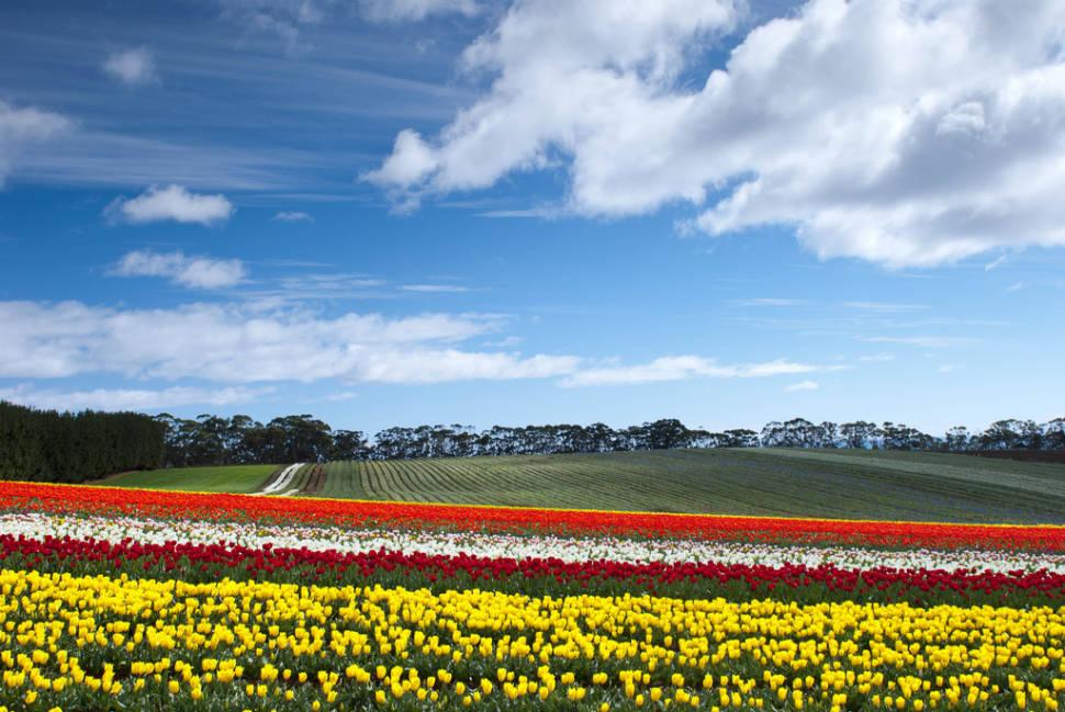 Blooming Tulips in Tasmania - Best Time