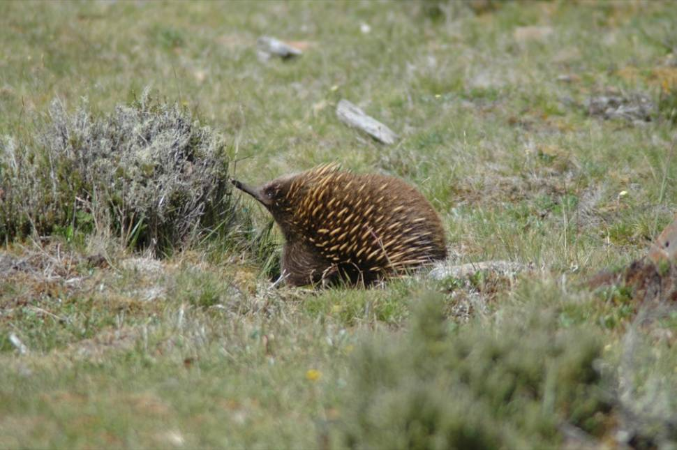 Echidna in Tasmania - Best Season