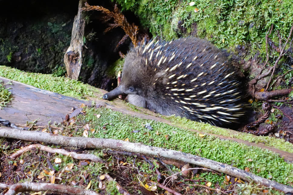 Best time for Echidna in Tasmania