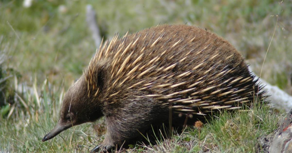 Echidna in Tasmania - Best Time