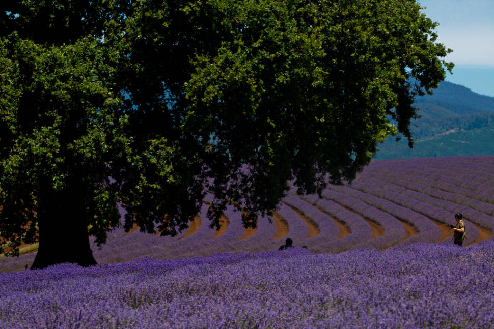 Bridestowe Lavender Farm in northeast Tasmania
