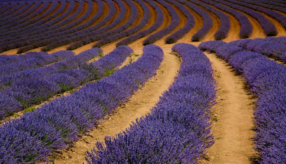 Lavender Blooming in Tasmania - Best Time