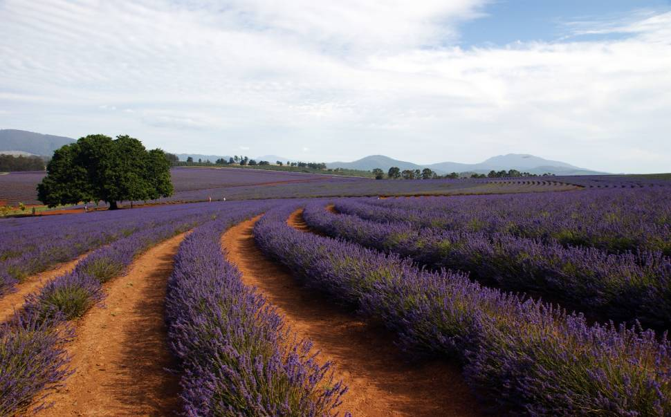 Lavender Blooming in Tasmania - Best Season