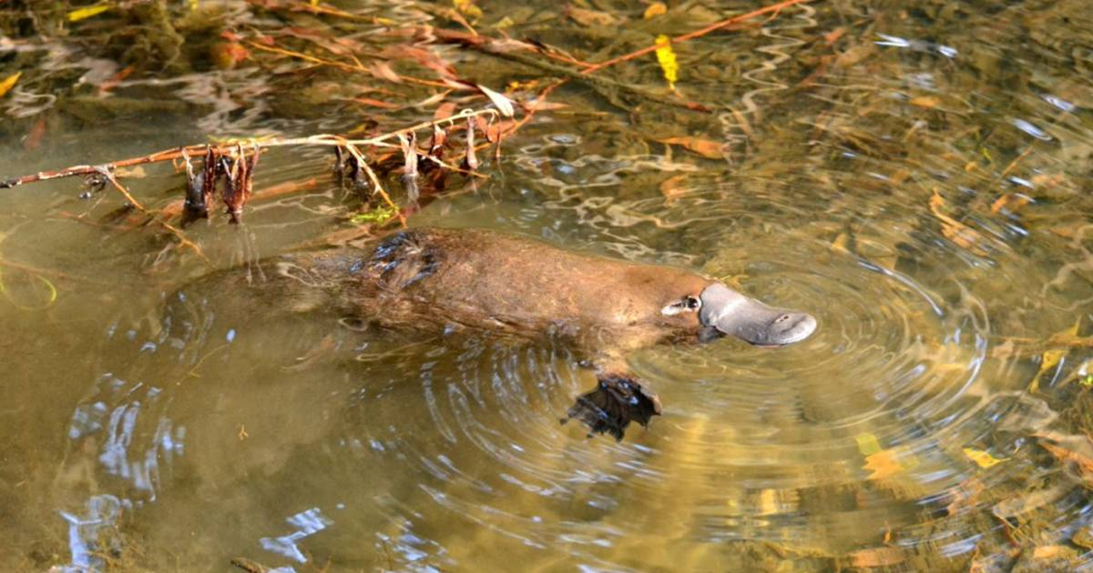 Watching Platypus in Tasmania - Best Time