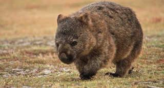 Wombat Watching