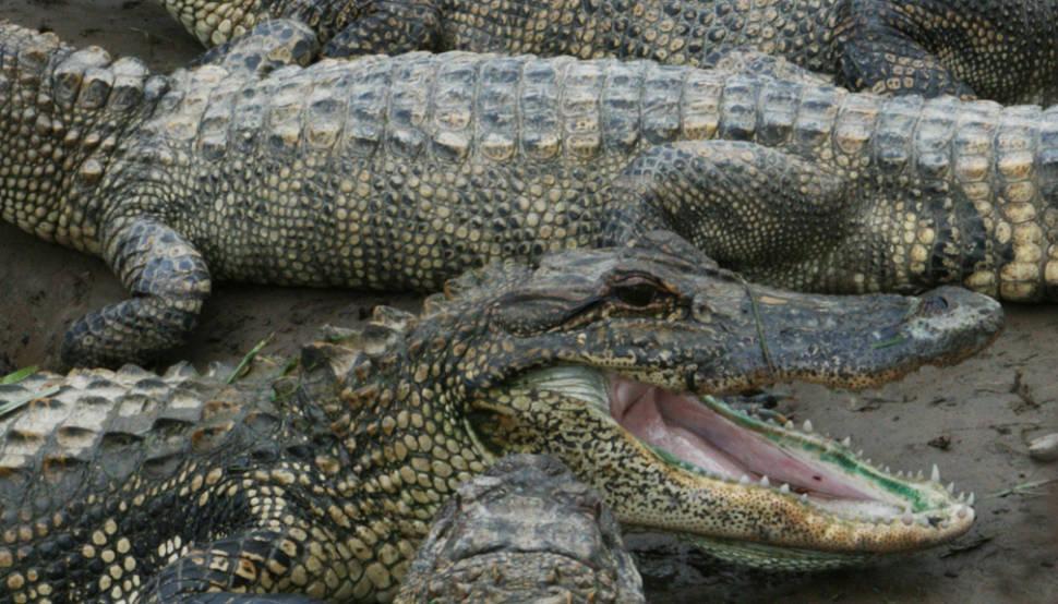 Alligators in Texas - Best Time