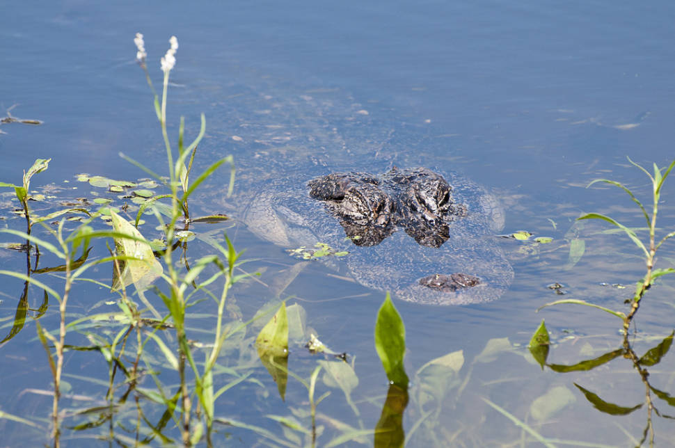 Alligator at Elm Lake