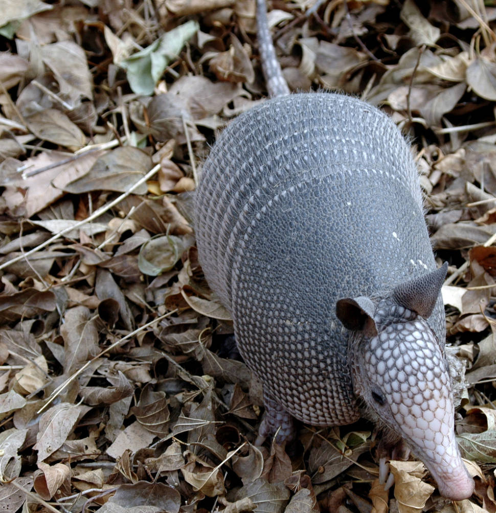 Armadillo in Texas - Best Season