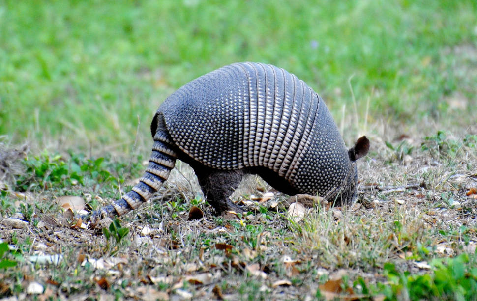 Armadillo seen in Montell, Tx