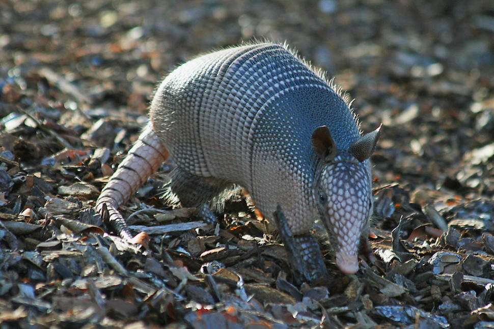 Armadillo in Texas - Best Time