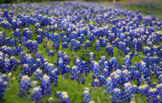 Bluebonnets Bloom