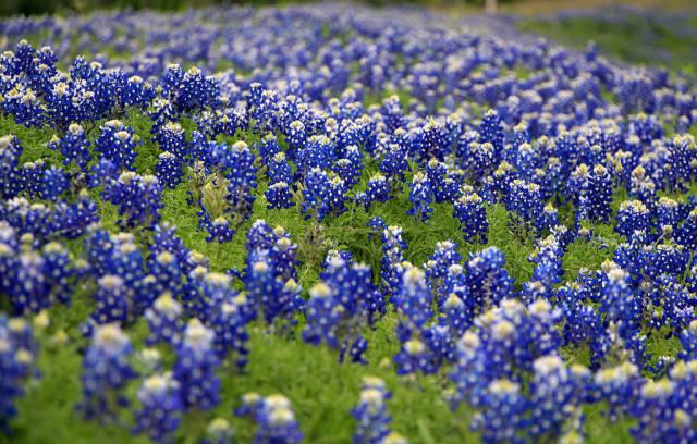 Bluebonnets Bloom in Texas - Best Time