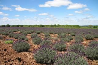 Lavender Trails