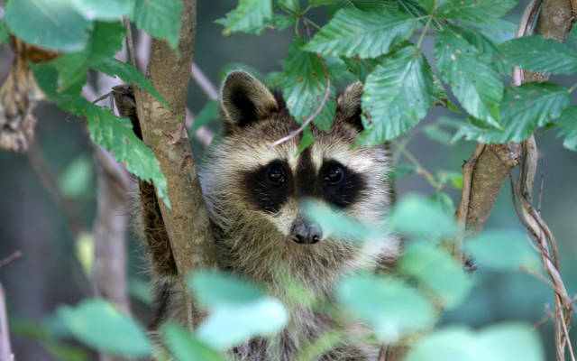 Juvenile raccoon