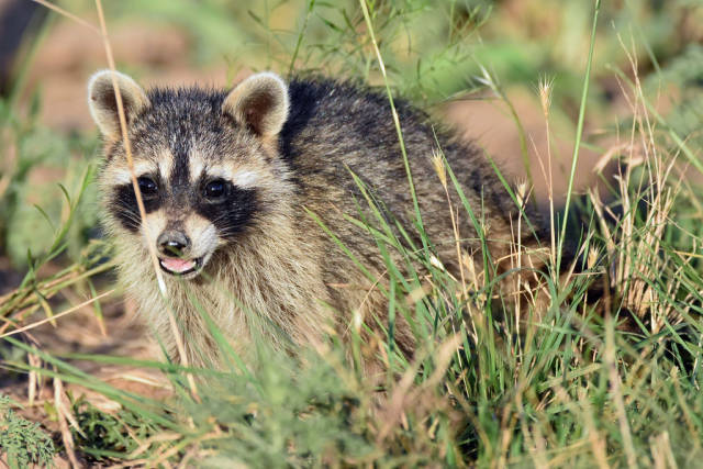 Raccoon in Texas - Best Season