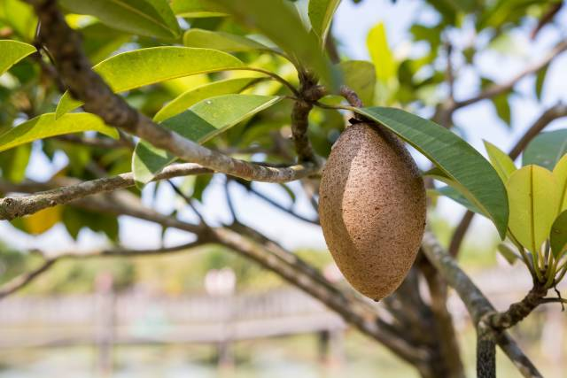 Sapodilla Season in Thailand - Best Time