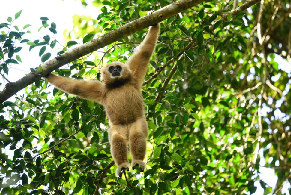 Watching Baby Gibbons in Thailand - Best Season