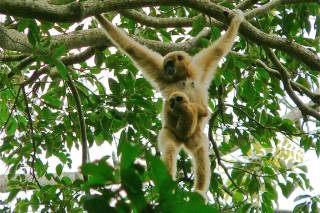 Watching Baby Gibbons