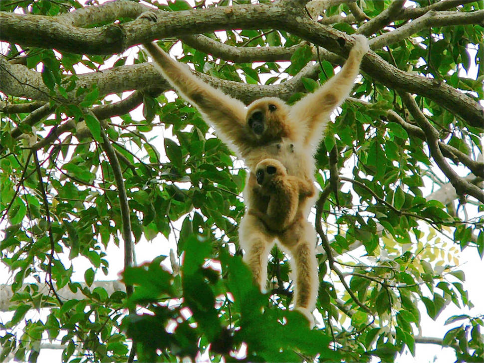 Watching Baby Gibbons in Thailand - Best Time