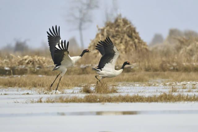 Black-Necked Cranes in Tibet - Best Time