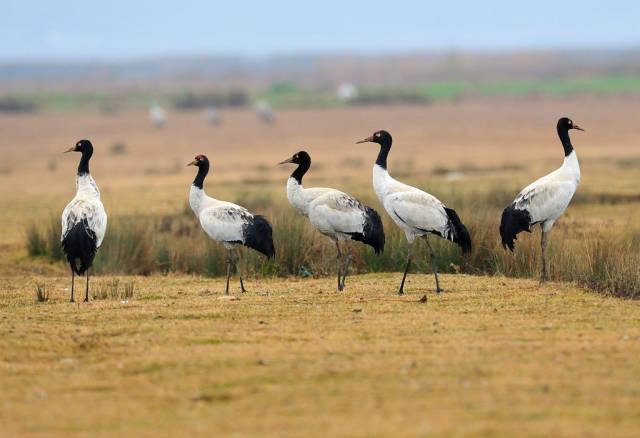 Black-Necked Cranes in Tibet - Best Season
