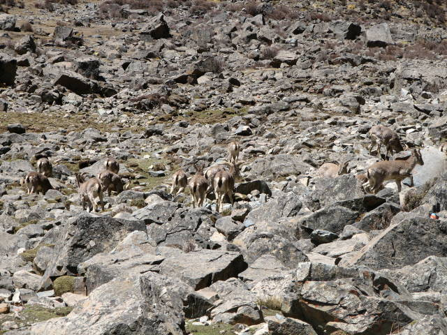 Tibetan Antelope (Chiru) in Tibet - Best Time