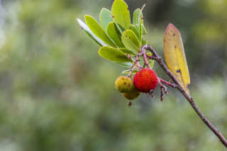 Wild Strawberries (Koca Yemiş)