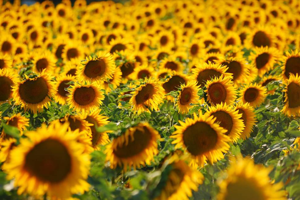 Sunflower Fields in Tuscany - Best Season