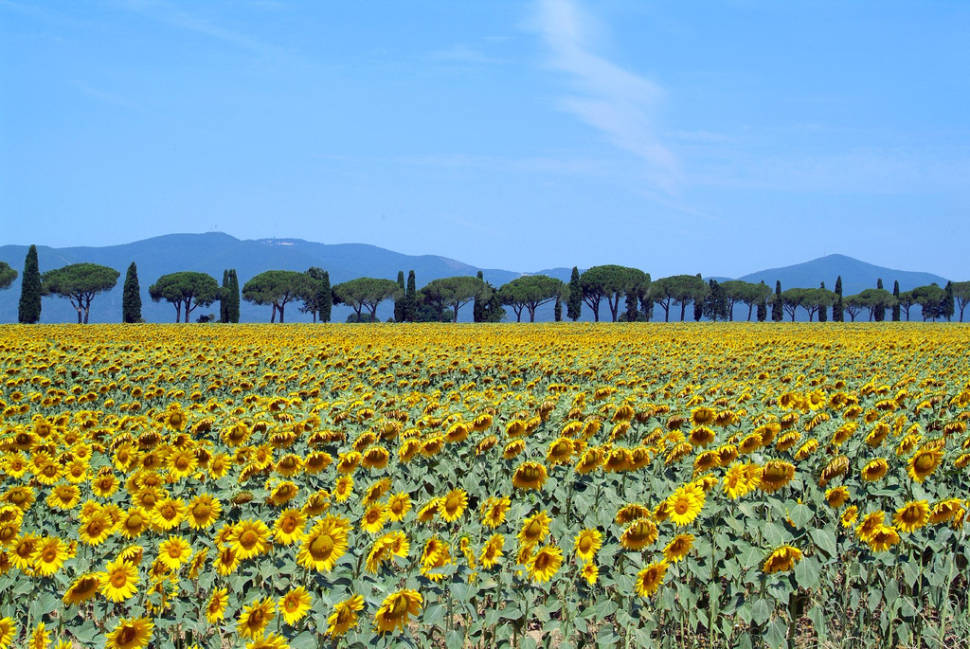 Sunflower Fields in Tuscany - Best Time