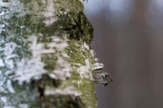 Birch Sap (Berezovyi Sik)