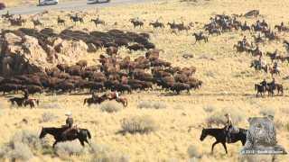 Antelope Island Bison Roundup