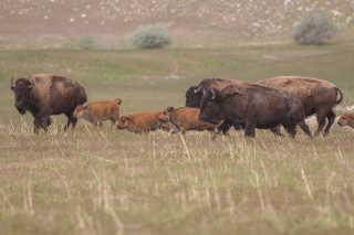 Bison Watching