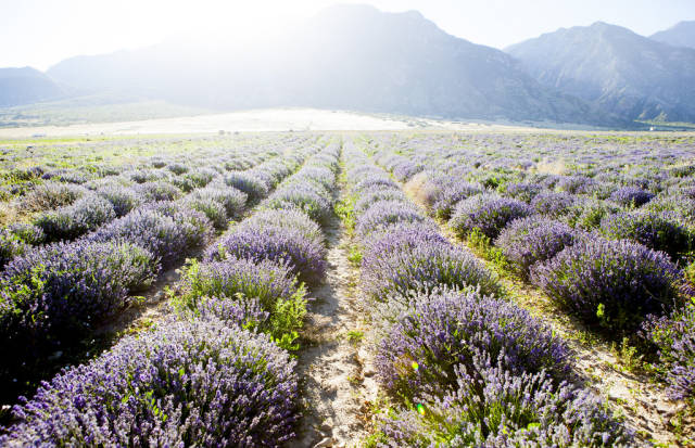 Lavender Days in Utah - Best Time