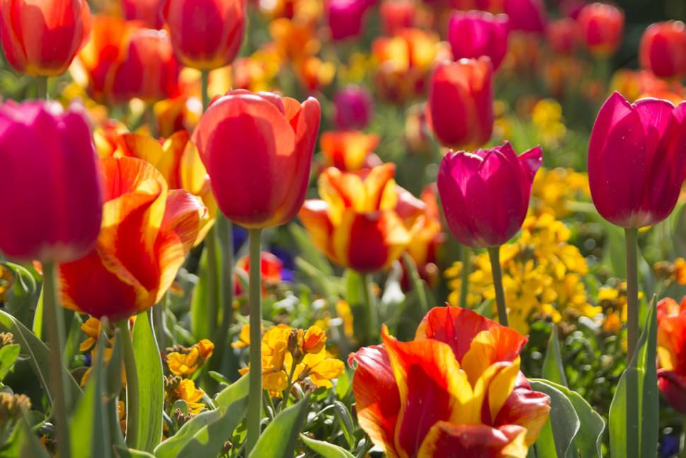Best time for Tulip Festival at Thanksgiving Point in Utah