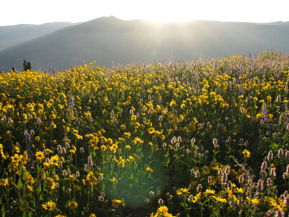 Wildflowers of Uinta-Wasatch-Cache National Forest in Utah - Best Season