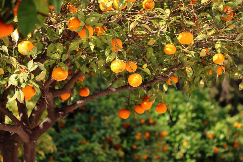 Oranges Season in Valencia - Best Time