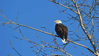 Bald Eagle Count
