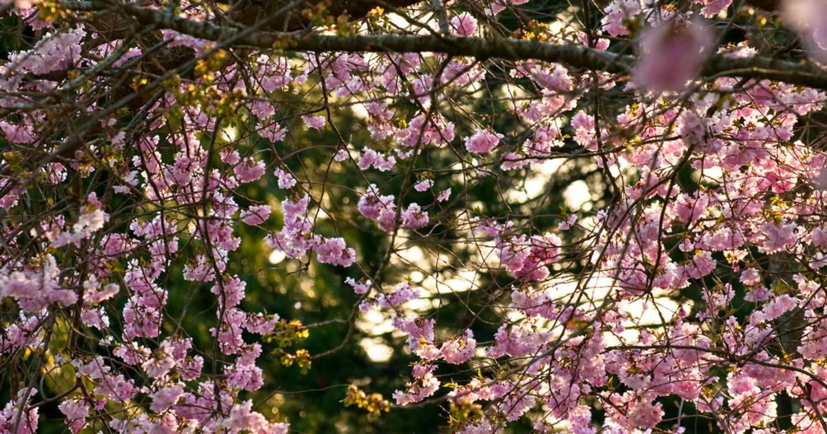 Blooming Season in Vancouver - Best Time