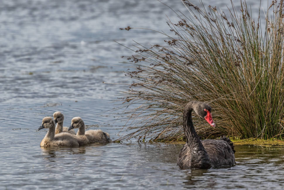 Adult Black Swan with cygnets on a lagoon in the Churchill Island Wetlands