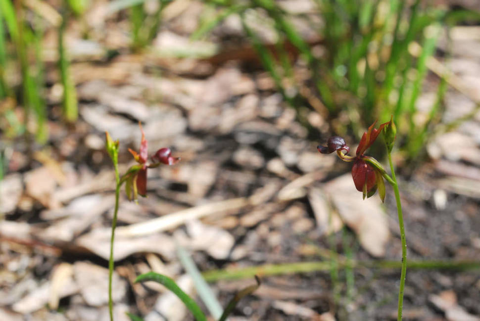 Best time for Flying Duck Orchid  in Victoria