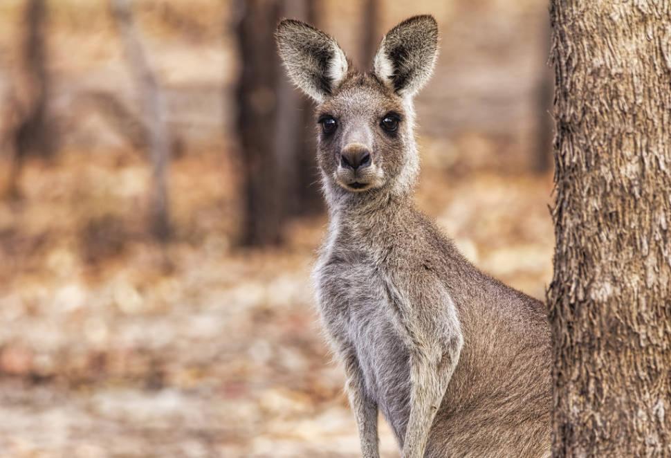 Kangaroo Watching  in Victoria - Best Time