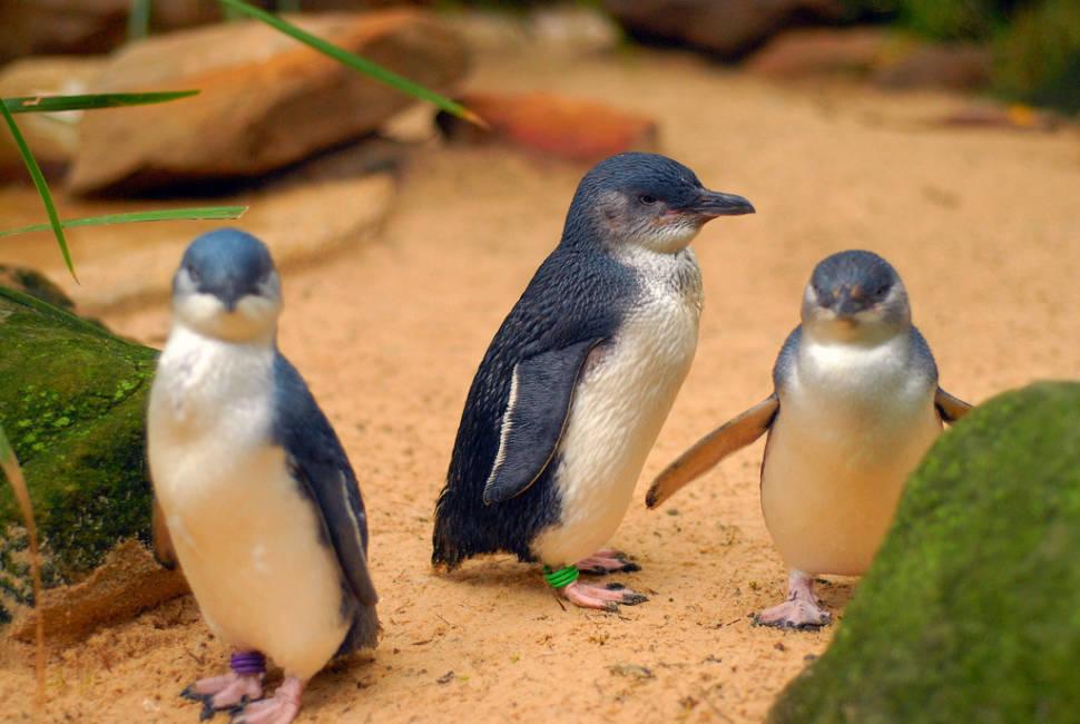 Phillip Island Penguin Parade in Victoria - Best Time