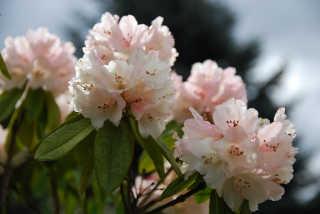 Rhododendron Blooming in Dandenong Ranges Botanic Garden