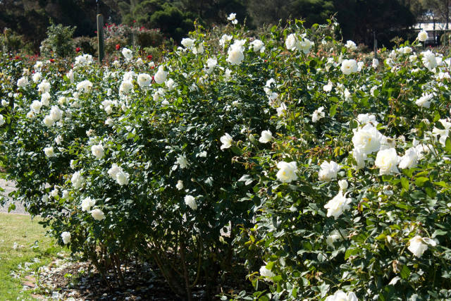 Best time to see Rose Blooming in Victoria State Rose Garden in Victoria