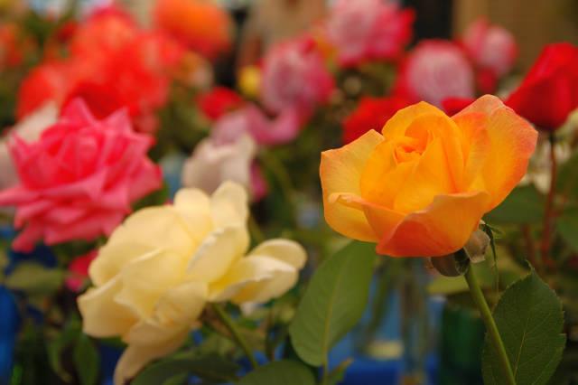 Rose Blooming in Victoria State Rose Garden in Victoria - Best Season